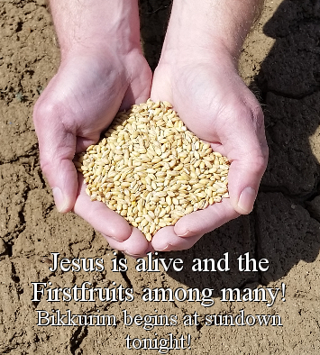 Jesus is alive and the Firstfruits among many! Bikkurim begins at sundown tonight!